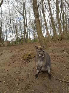 Posing wallaby